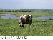 Пятнистая корова на выпасе. Стоковое фото, фотограф Охотникова Екатерина *Фототуристы* / Фотобанк Лори