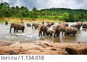 Купить «Стадо диких индийских слонов переходит реку», фото № 1134018, снято 4 августа 2009 г. (c) Алексей Кузнецов / Фотобанк Лори