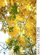 Кленовые листья. Стоковое фото, фотограф Наталья Хваткова / Фотобанк Лори