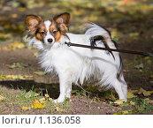Купить «Собака породы папильон», фото № 1136058, снято 6 октября 2009 г. (c) Сергей Лаврентьев / Фотобанк Лори