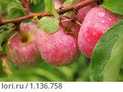 Капли дождя на спелых яблоках. Стоковое фото, фотограф Лукиянова Наталья / Фотобанк Лори