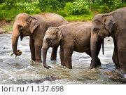 Купить «Стадо индийских слонов переходит реку», фото № 1137698, снято 4 августа 2009 г. (c) Алексей Кузнецов / Фотобанк Лори