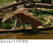 Купить «Тигр», фото № 1137810, снято 20 апреля 2007 г. (c) Светлана Щекина / Фотобанк Лори