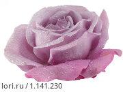 Купить «Сиреневая роза на белом фоне с каплями росы», фото № 1141230, снято 25 сентября 2009 г. (c) Наталья Волкова / Фотобанк Лори