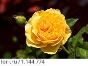 Желтая роза. Стоковое фото, фотограф Наталья Ревкина / Фотобанк Лори