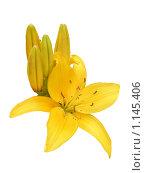 Купить «Желтая лилия на белом фоне», фото № 1145406, снято 20 августа 2009 г. (c) Neta / Фотобанк Лори
