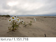 Ромашки на песке. Стоковое фото, фотограф Александр Гаврилов / Фотобанк Лори