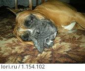 Собака породы боксер отдыхает. Стоковое фото, фотограф Анатолий Вороничев / Фотобанк Лори