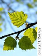 Молодые березовые листья. Стоковое фото, фотограф Андрей Сучков / Фотобанк Лори