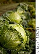 Кочаны капусты на грядке. Стоковое фото, фотограф Елена Тимошенко / Фотобанк Лори
