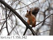 Купить «Белка», фото № 1156342, снято 6 октября 2009 г. (c) Жданович Юрий / Фотобанк Лори