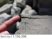 Ящерица. Стоковое фото, фотограф Анна Збожинская / Фотобанк Лори