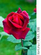Бархатная роза. Стоковое фото, фотограф Кузнецова Юлия (aka Syaochka) / Фотобанк Лори