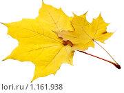 Листья желтые кленовые. Стоковое фото, фотограф Левончук Юрий / Фотобанк Лори