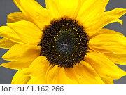 Купить «Подсолнух», фото № 1162266, снято 17 октября 2009 г. (c) Олег Ивашкевич / Фотобанк Лори