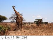 Два жирафа в саванне. Стоковое фото, фотограф Димитрий Сухов / Фотобанк Лори