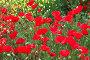 Цветущие маки, фото № 1164570, снято 2 мая 2006 г. (c) Бабенко Денис Юрьевич / Фотобанк Лори
