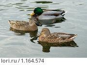 Купить «Плавающие утки», фото № 1164574, снято 13 октября 2009 г. (c) Абакумова Евгения / Фотобанк Лори