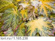 Купить «Кленовые листья», фото № 1165238, снято 10 октября 2009 г. (c) Илюхина Наталья / Фотобанк Лори