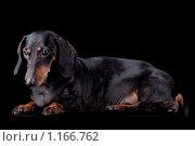 Купить «Черно-подпалая такса изолированная на черном  фоне», фото № 1166762, снято 22 февраля 2019 г. (c) Melory / Фотобанк Лори