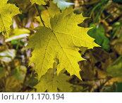 Желтый кленовый лист. Стоковое фото, фотограф Вячеслав Маслов / Фотобанк Лори