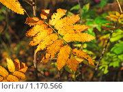 Купить «Желтый лист красной рябины», эксклюзивное фото № 1170566, снято 7 октября 2009 г. (c) lana1501 / Фотобанк Лори