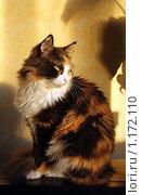 Купить «Трехцветная кошка», эксклюзивное фото № 1172110, снято 13 января 2009 г. (c) lana1501 / Фотобанк Лори