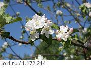Цветущая ветка яблони на фоне голубого неба. Стоковое фото, фотограф Татьяна Кирилова / Фотобанк Лори