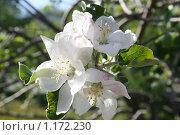 Яблоневый цвет. Стоковое фото, фотограф Татьяна Кирилова / Фотобанк Лори