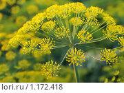 Купить «Укроп», фото № 1172418, снято 15 июля 2009 г. (c) Дмитрий Калиновский / Фотобанк Лори
