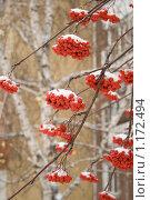 Рябина зимой. Стоковое фото, фотограф Иван Веселов / Фотобанк Лори