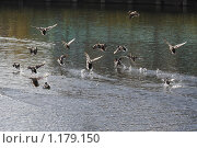 Купить «Утки взлетают над водой», фото № 1179150, снято 10 октября 2009 г. (c) Яременко Екатерина / Фотобанк Лори