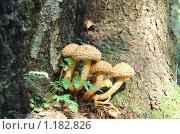Купить «Гриб чешуйчатка ворсистая (Pholiota squarrosa)», фото № 1182826, снято 30 сентября 2007 г. (c) Елена Ильина / Фотобанк Лори