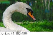 Купить «Белый лебедь», эксклюзивное фото № 1183490, снято 27 мая 2008 г. (c) Алёшина Оксана / Фотобанк Лори