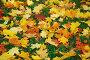 Опавшие кленовые листья на траве, эксклюзивное фото № 1185230, снято 6 октября 2008 г. (c) Алёшина Оксана / Фотобанк Лори