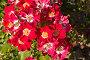 Чайные розы, фото № 1189410, снято 7 июля 2004 г. (c) Кравецкий Геннадий / Фотобанк Лори