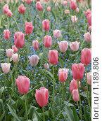 Цветущие тюльпаны в саду (2009 год). Стоковое фото, фотограф Aleksey Trefilov / Фотобанк Лори