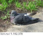 Купить «Голубь отдыхает», эксклюзивное фото № 1192378, снято 8 июня 2009 г. (c) lana1501 / Фотобанк Лори
