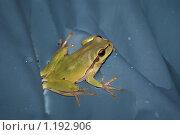 Древесная лягушка. Стоковое фото, фотограф Алексей Вялов / Фотобанк Лори