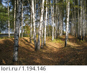 Березовый лес. Стоковое фото, фотограф Наталия Гунина / Фотобанк Лори