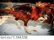 Петушиный бой. Стоковое фото, фотограф Андрей Варенков / Фотобанк Лори