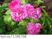 Розы. Стоковое фото, фотограф Шеронова Марина / Фотобанк Лори