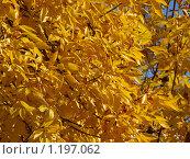 Яркие желтые осенние листья. Стоковое фото, фотограф Ваганова Марина / Фотобанк Лори