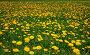Одуванчики, эксклюзивное фото № 1199558, снято 14 мая 2008 г. (c) Алёшина Оксана / Фотобанк Лори