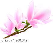 Купить «Ветка магнолии», иллюстрация № 1200342 (c) Юрий Брыкайло / Фотобанк Лори