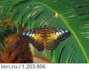 Купить «Бабочка Parthenos silvia, сидящая на листьях», эксклюзивное фото № 1203806, снято 23 сентября 2008 г. (c) Алёшина Оксана / Фотобанк Лори