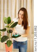 Купить «Девушка протирает листья фикуса», фото № 1203882, снято 25 октября 2009 г. (c) Андрей Щекалев (AndreyPS) / Фотобанк Лори