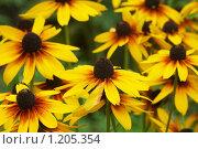 Купить «Цветы эхинацеи», фото № 1205354, снято 19 июля 2009 г. (c) Наталья Демидчик / Фотобанк Лори