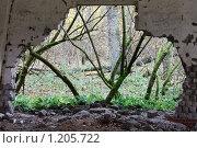 Деревья во мху в рамке разрушенной кирпичной стены. Стоковое фото, фотограф Анатолий Долгополов / Фотобанк Лори