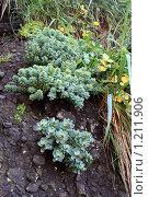 Купить «Родиола розовая, или золотой корень, произрастающий на скалах острова Кунашир», фото № 1211906, снято 5 августа 2008 г. (c) BELY / Фотобанк Лори